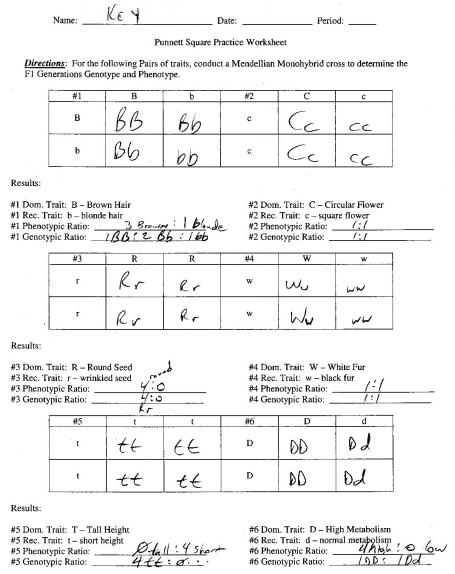 punnett square practice worksheet answers